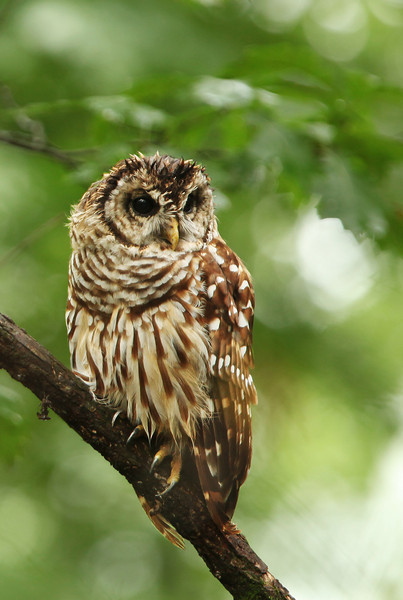 Immature Barred Owl from Radnor Lake in Nashville.
