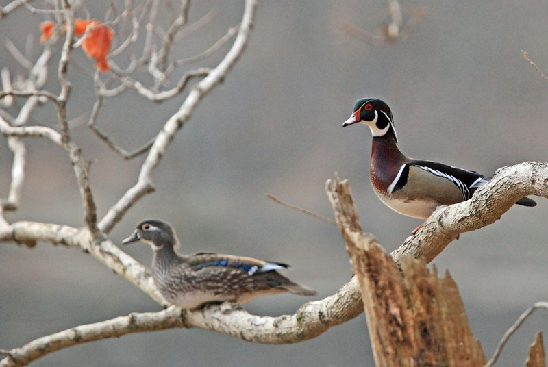 Another nesting pair of Radnor Lake Wood Ducks.