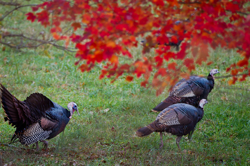 Turkeys and Red Maple