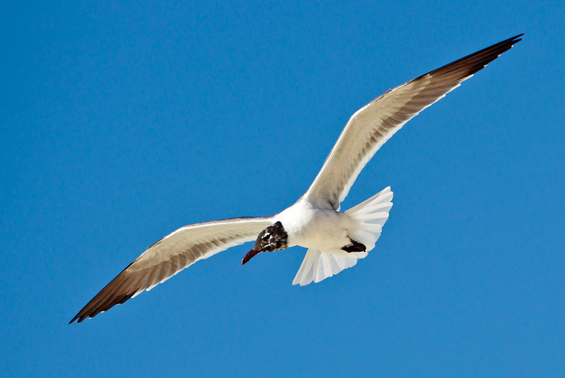 Laughing Gull IF