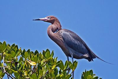 Reddish Egret 1