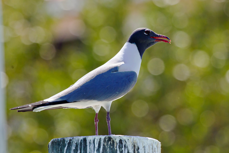 Laughing Gull Pier