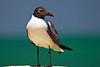 Laughing Gull 1