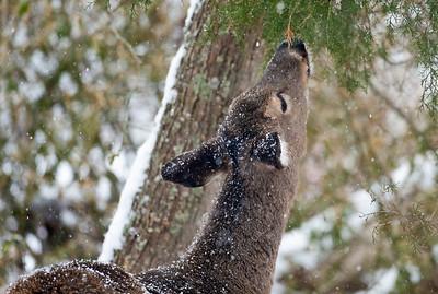 Deer in Snow 2