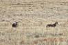Coyotes crop