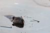 Radnor Beaver 1