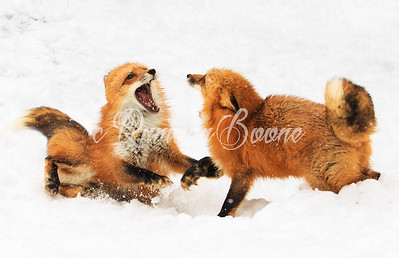 Red Fox in Snow
