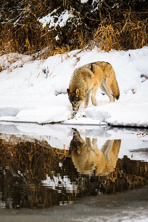 Wolf in Reflection