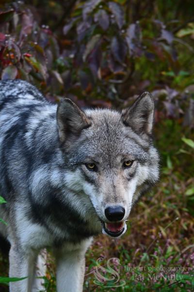 Timberline Wolf Photograph