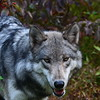 Timberline Wolf Photograph