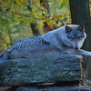 Timberline Wolf  on Rock Picture