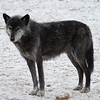 Grey Wolf Picture