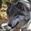 Timberline Wolf Photo