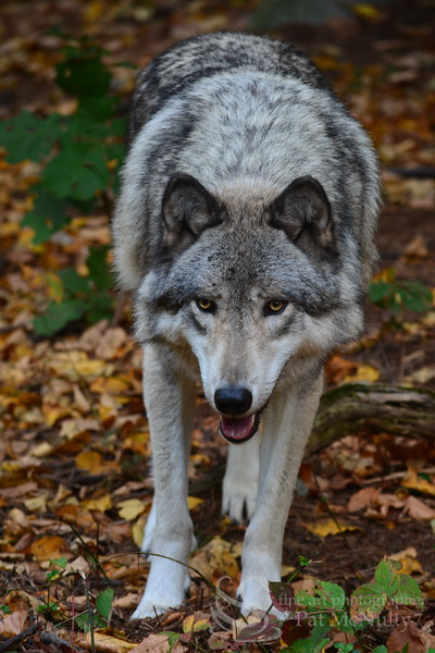 Picture of Timberline Wolf