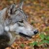 Timberline Wolf Photo
