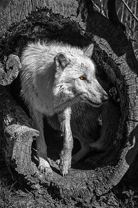 Wolves 0232