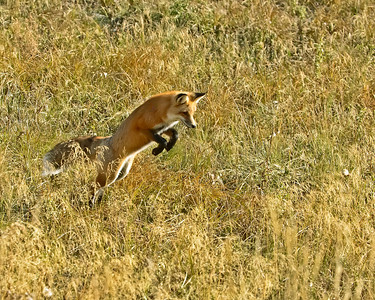 Red Fox Mousing, how he jumps.