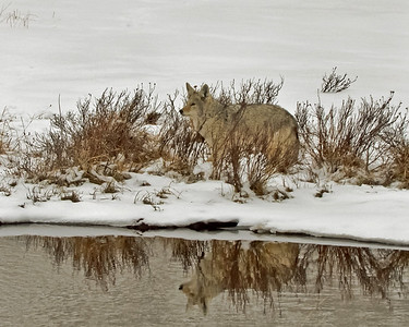 Winter Coyote, Blacktail Ponds, Yellowstone National Park.