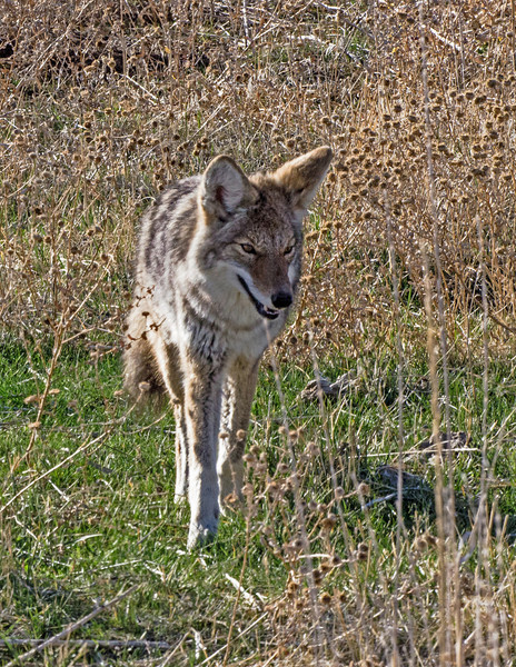 Antelope Island Coyote, the Island is a good place to photograph them.