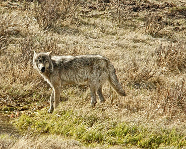 Grey Wolf, Yellowstone.