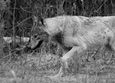 Algonquin Wolf on the Move