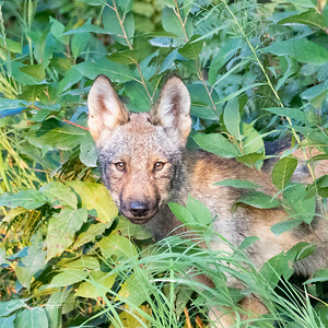 Algonquin Wolf Pup in the Bush
