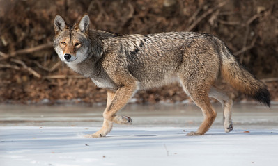Eastern Coyote on the Ice