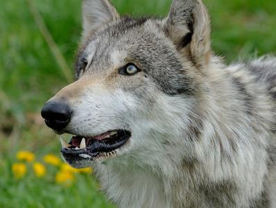 Wolf Park - Spring 2011