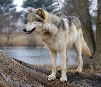 Wolf Park - Spring 2014