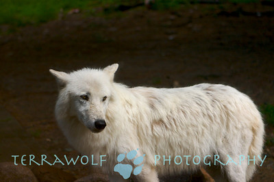 Arctic wolf looking perplexed
