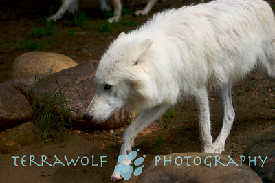 Arctic wolf walking carefully through rocks