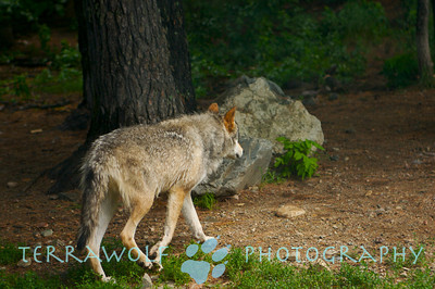 Timber wolf walking casually away