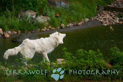 Arctic wolf shaking water off