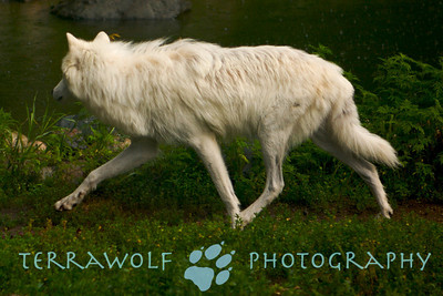 Arctic wolf in mid-stride