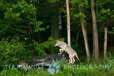 Timber wolf climbing a rock