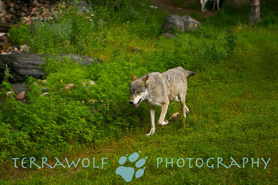 Timber wolf trotting happily by a creek