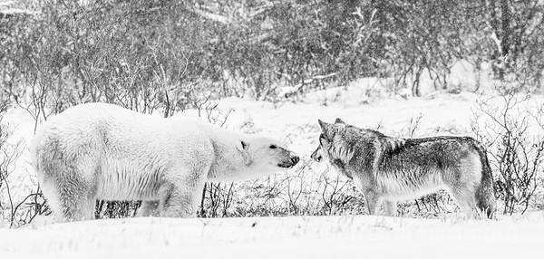 Wolf meets Bear