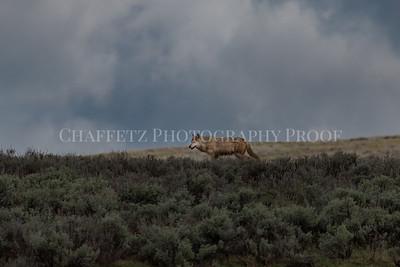 Wolf on the Horizon