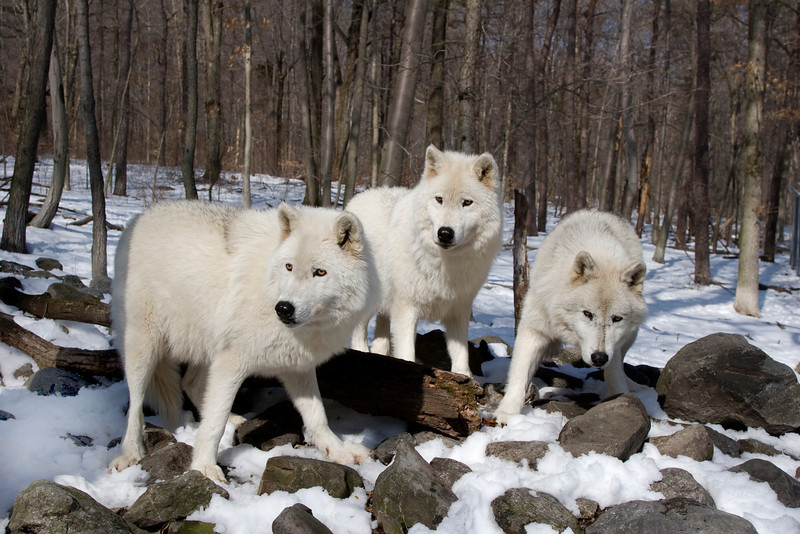 Arctic Wolves _MG_7889