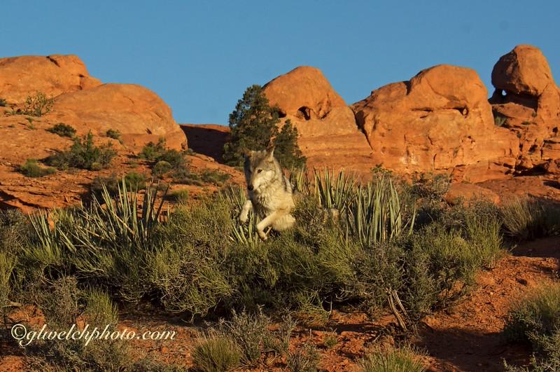 Wolf sailing over sage brush