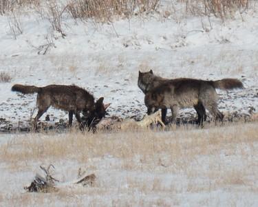 Lamar Canyon Pack on a Buffalo Carcass