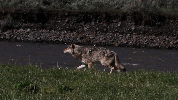 Lamar Canyon wolf 2012