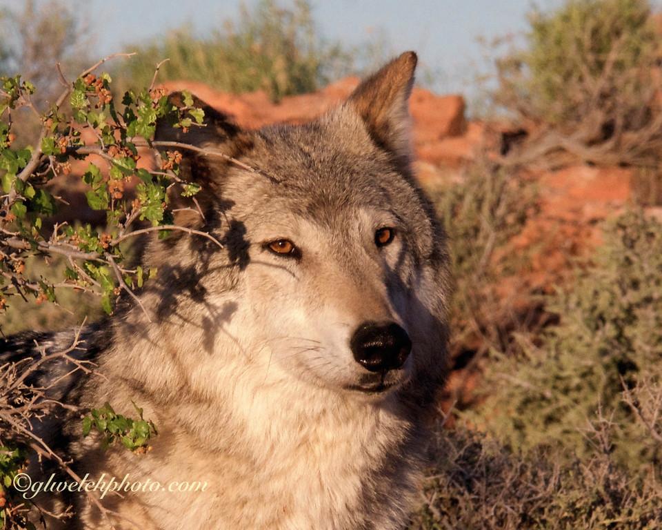 Wolf- Head Shot