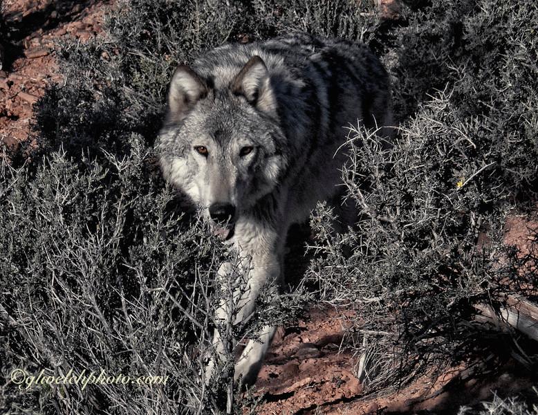 Wolf in Sage Brush