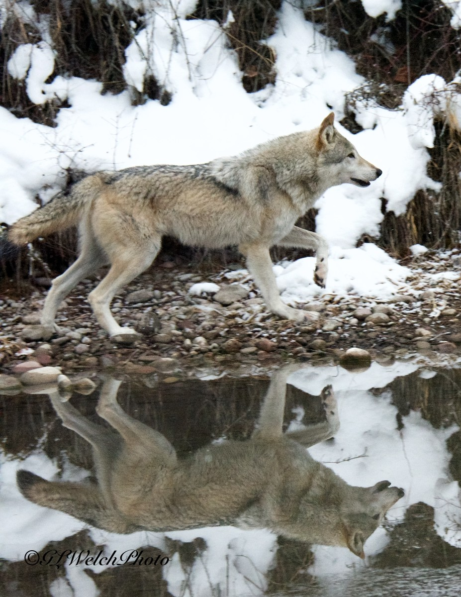 Wolf at reflection pond