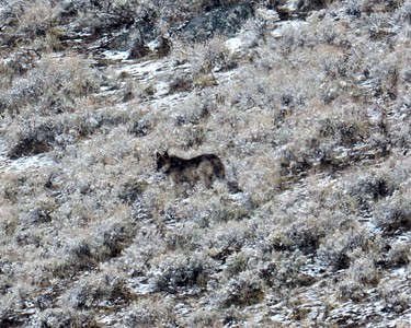 Twin, Lamar Canyon Alpha Male, north of the road in Lamar Valley, YNP in spring 2016.