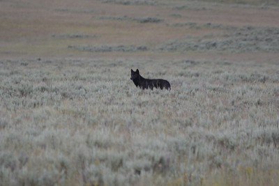 Unknown Black Wolf