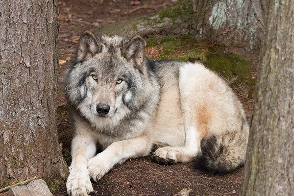 Gray Wolf relaxed