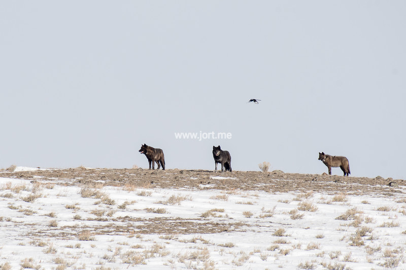 Black wolves and magpie