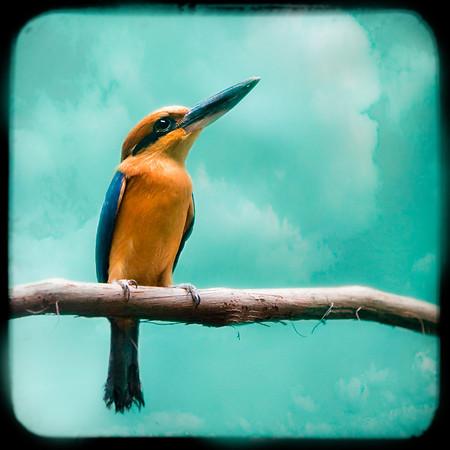 Guam Kingfisher
